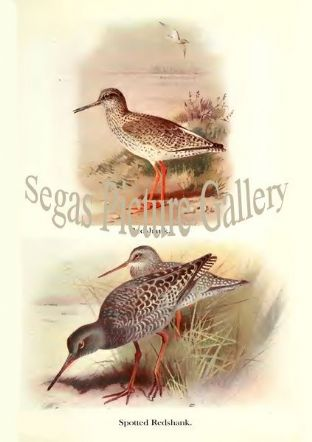 Redshank & Spotted Redshank